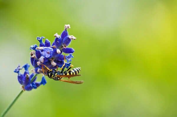 honingplant
